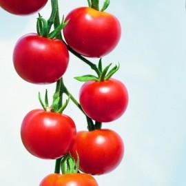 Semences bio sans ogm Tomates mini Type Cherry Rouge