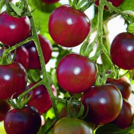 Semences bio sans ogm Tomates mini Cerise noire