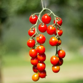 Semences bio sans ogm Tomates mini Miel du Mexique