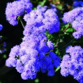 Semences bio sans ogm Ageratum (plante annuelle)