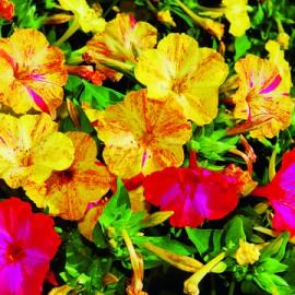 Semences bio sans ogm Belle de Nuit, Merveille du Pérou Mélange exotique (plante annuelle)