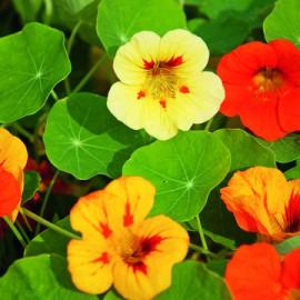 Semences bio sans ogm Capucine Simple, mélange (plante annuelle)