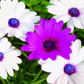 Semences bio sans ogm Marguerite du Cap, Osteospermum Mélange blanc-violet