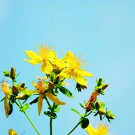 Semences bio sans ogm Millepertuis (plante vivace)