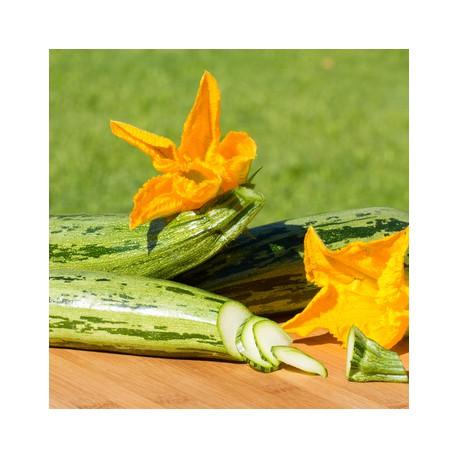 Semences bio sans ogm Courgettes de Gênes striée vert-jaune