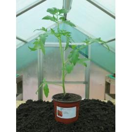 Plantons tomates boule d'or