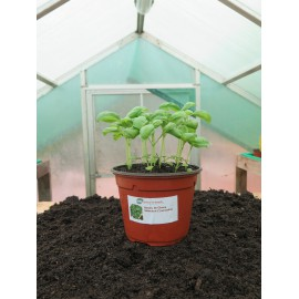 Plantons basilic