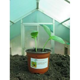 Plantons courgettes de Gênes striée vert-jaune