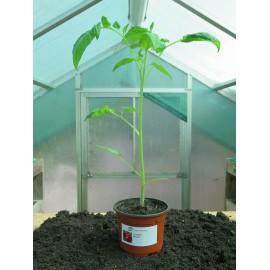 Plantons tomates Matina